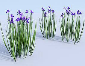 3D model Siberian iris set Iris sibirica
