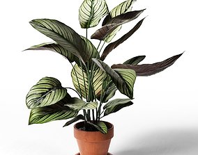 3D model Calathea Ornata Sanderiana in Pot 3