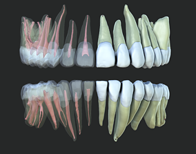 Human Teeth Detailed 3D model
