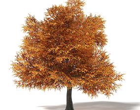 Common Oak 3D Model 17m