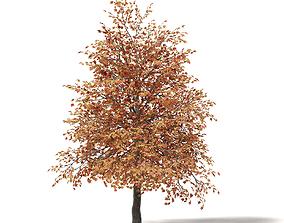 Sugar Maple 3D Model 5m