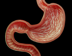 Stomach cross sectional anatomy 3D asset game-ready