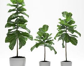 3D model plant Fig plant
