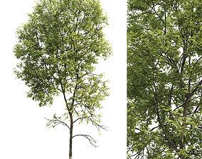 Ash-tree 05 H21m 3D