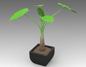 3D model Alocasia Calidora Plant 12