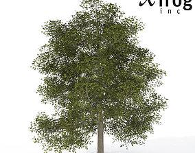 3D XfrogPlants Common Ash
