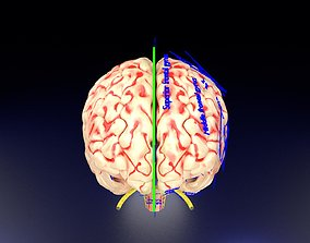 Central nervous system cortex limbic basal ganglia stem 3D