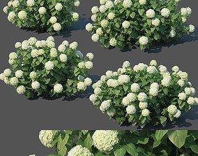Hydrangea arborescens Nr1 - Annabelle V2 3D model