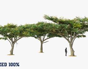Acacia Tortillis Trees Optimized 3D asset