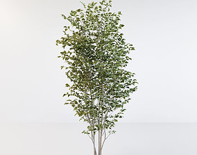Fraxinus griffithii Tree 3D