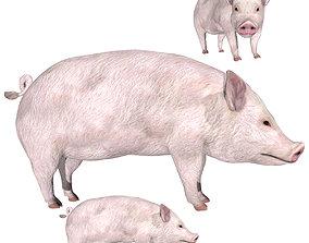 Pig Swine 3D model