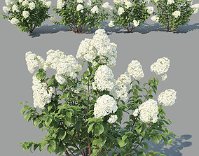 Hydrangea paniculata Nr1 - Four variations 3D