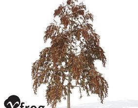XfrogPlants Autumn Bald Cypress 3D model