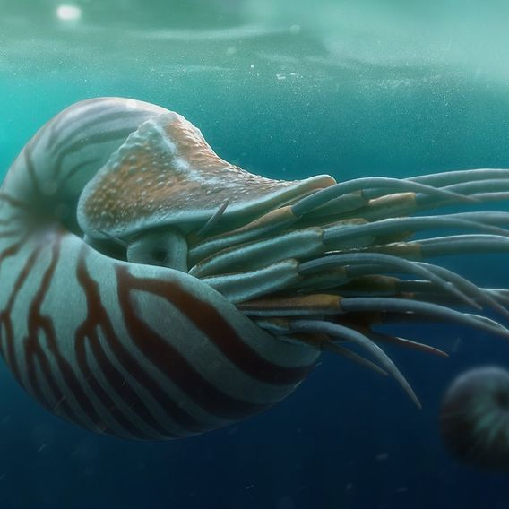 Nautilus belauensis - The Chambered Nautilus