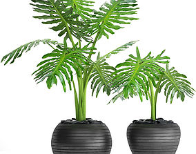 Philodendron selloum 3D model