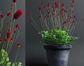Plant Sanguisorba 3D model