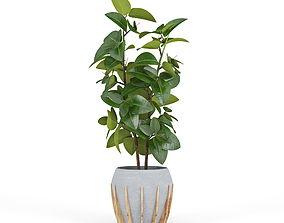 3D Ficus Elastica