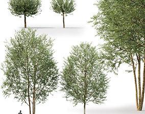 3D model Salix Alba Chermesina 01