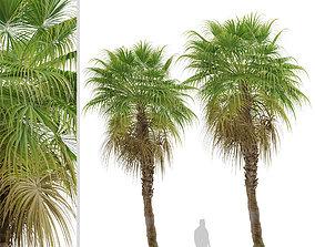 Set of Chinese Fan Palm or Livistona chinensis 3D model 3