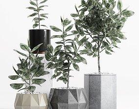 Plants and Planters 9 Ficus Elastica 3D model
