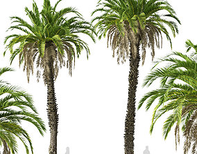 Set of Canary Island date palm or Phoenix canariensis 3D