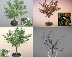 Rowan Tree - Sorbus-Aucuparia - 12m - All 3D model 1