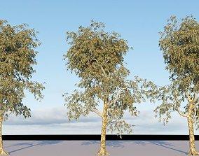 Eucalyptus polyanthemos 3D