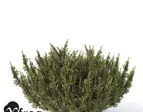 3D model XfrogPlants African Boxwood