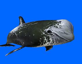 Risso Dolphin 3D asset