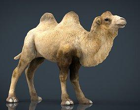 3D asset Bactrian camel