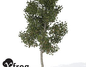 XfrogPlants Coulter Pine 3D