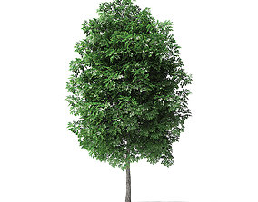 White Ash Tree 3D Model 4m