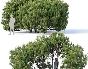 Pinus mugo Nr3 H380 cm Five tree modular set 3D