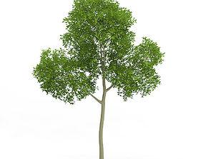 3D model Common Beech Fagus sylvatica 14m