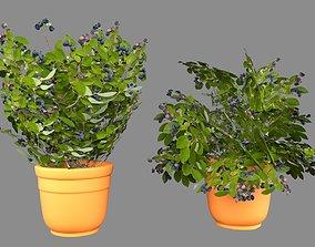 Blueberry plant 3D asset