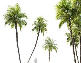 3D Three Phoenix reclinata palm