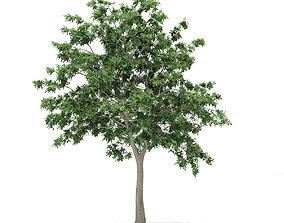Pedunculate Oak Quercus Robur 9m 3D model