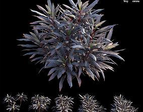 tropical Cordyline fruticosa plant set 04 3D