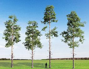 Scots pine v1 3D model