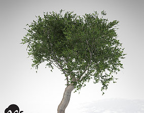 XfrogPlants Coast Live Oak 3D