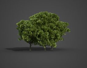 3D model 2021 PBR Western Red Cedar Collection - Thuja 1