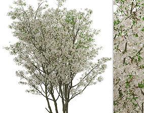 Set of Amelanchier Lamarckii or Juneberry Trees 3D model 2