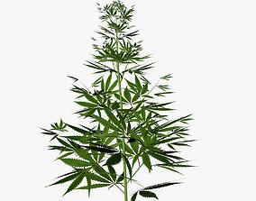 3D Marijuana plant
