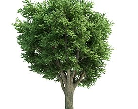3D Ulmus Campestris Green Tree