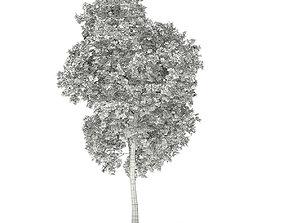 Red Oak Quercus rubra L 18m 3D model