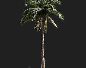 3D model Cocos nucifera Coconut palm-05 cocos
