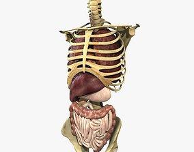 3D Human Skeleton Torso With Internal Organ Anatomy Rigged