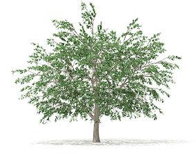 Pedunculate Oak Quercus Robur 15m 3D model