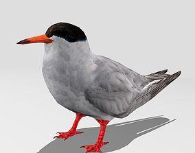 Common Tern 3D model