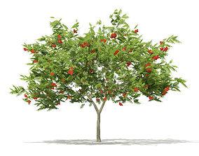 European Rowan Sorbus aucuparia 3m 3D model